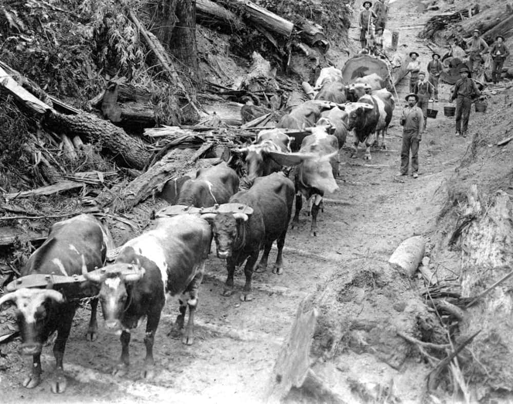 Archival photo of cattle pulling redwoods from Natures Bounty exhibit at San Mateo County History Museum